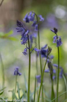 Bluebells (Ref: 5387)