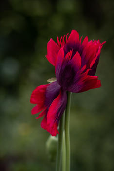 Sensational Poppy (Ref: 9745)