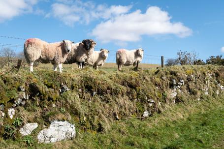Smeardon Sheep