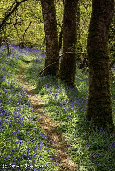 Meldon Bluebell Woods (Ref_ 8974)