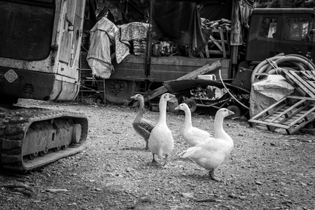 Farmyard Geese
