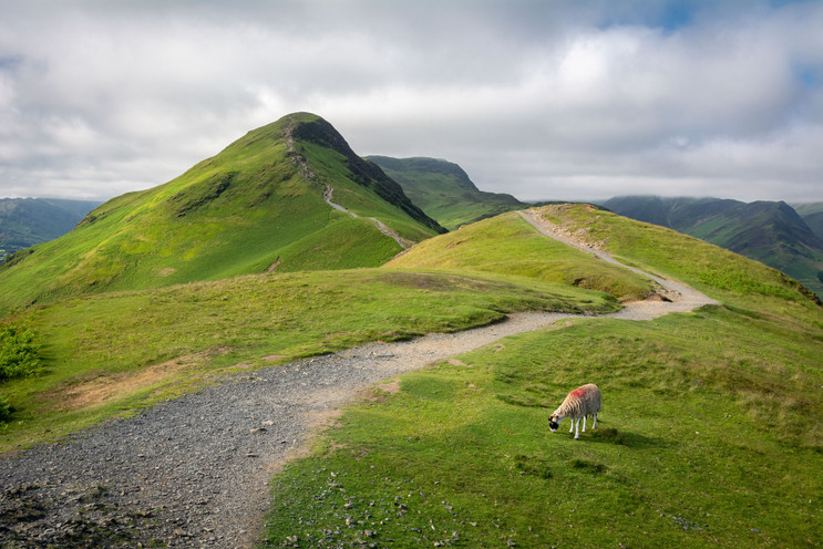 Lone Sheep on Cat Bells (Ref_ 4359-2)