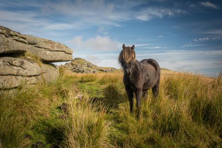 Longaford Tor Pony