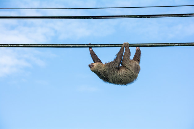 Sloth on the Wire II