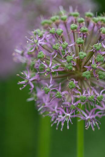 Alliums (Ref_ 2176)