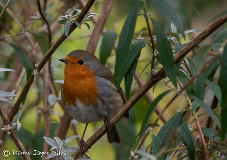 Robin (Ref_ 3919)