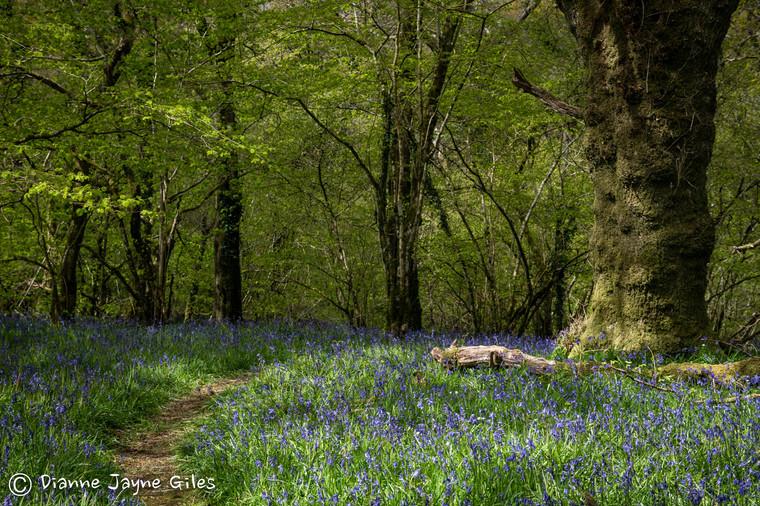 Meldon Bluebell Woods (Ref_ 8952)
