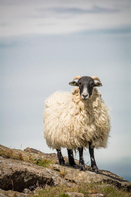 Belstone Sheep