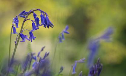 Bluebells (Ref: 0650-2)