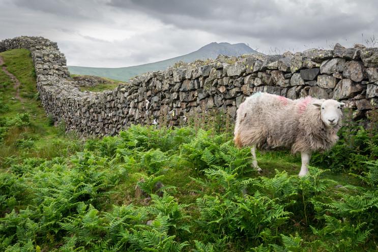 Sheep at Hardknott Pass (Ref_ 4177)
