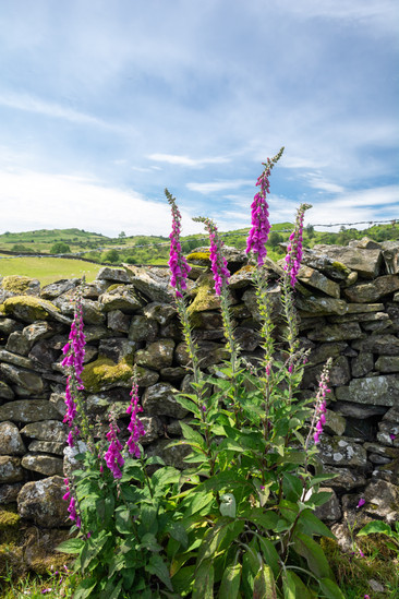 Foxgloves & Walls in the Lyth Valley (Re