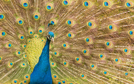 Dartmeet Peacock - Landscape