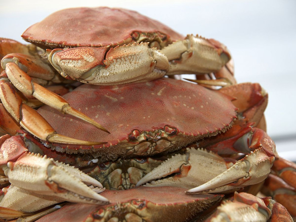dungeoness crab stacked 3 high in a pile