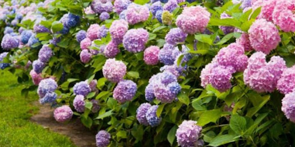 FREE Garden Lecture: Heavenly Hydrangeas
