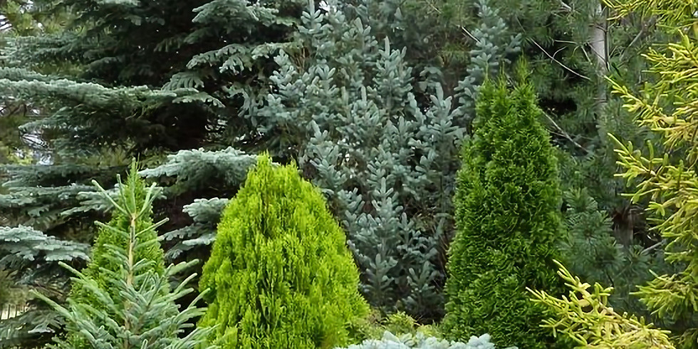 FREE Garden Lecture: Conifers or as we know them Christmas Trees!