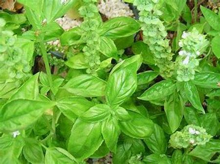 Basil, organic