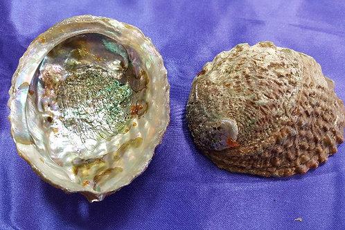 Small Abalone Shells