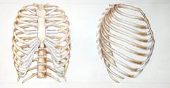 rib cage.jpg