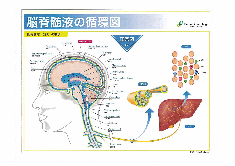 脳骨髄液の流れ