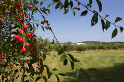 Cherry Orchard Farm You Pick