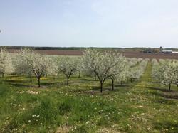 Cherry Orchard Farm You Pick