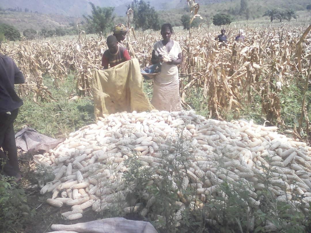Kamanyola recolt 4