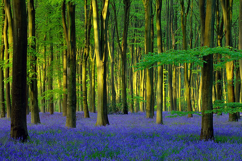 Bluebell Wood 40x50cm Art Print