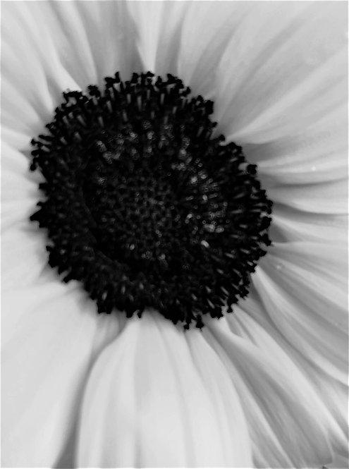 Sunflower 4x6 inches Art Print