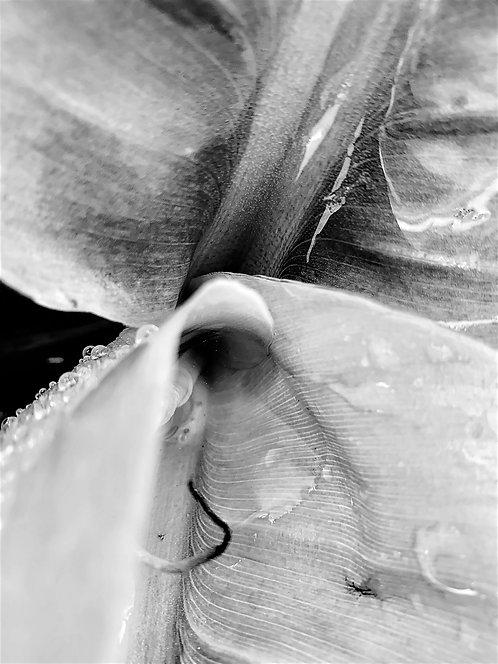 Black & White Bananna 24x30cm Art Print