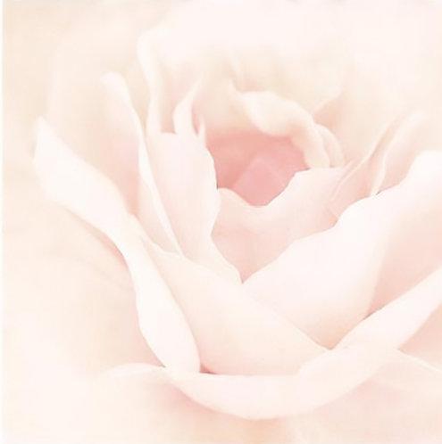 Blush Rose II 30x30cm Art Print