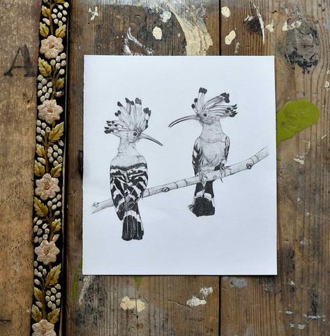 Hoopoes-drawing-emma-wild.jpg