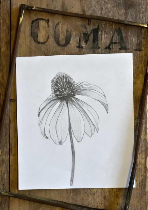 Emma-Wild-1-Coneflower-drawing-1200.jpg