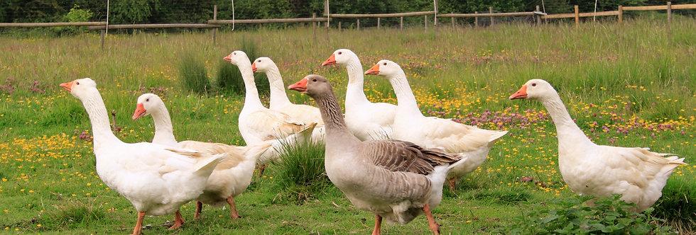 Whole Embden Goose