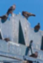 Fientes de pigeons