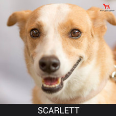 Details: Female, 7 years old Breed: Mixed, midi Health: Vaccinated, spayed Socialization: Dogs, cats, hoomans Training: Leash Behavior: Calm, friendly