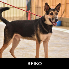 Details: Male, 3 years old Breed: GSD X. large Health: Vaccinated, spayed Socialization: Dogs, hoomans Training: Leash Behavior: Active