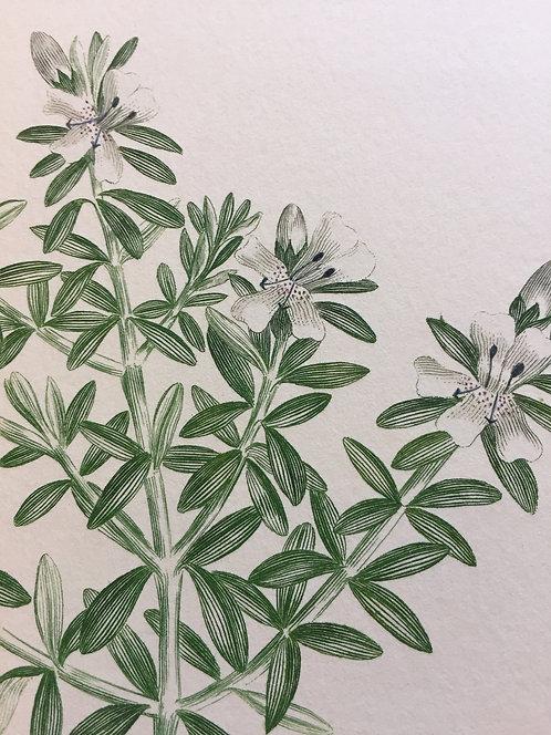 Banks' Florilegium Plate 257