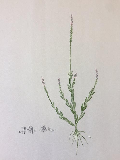 Banks' Florilegium Plate 14