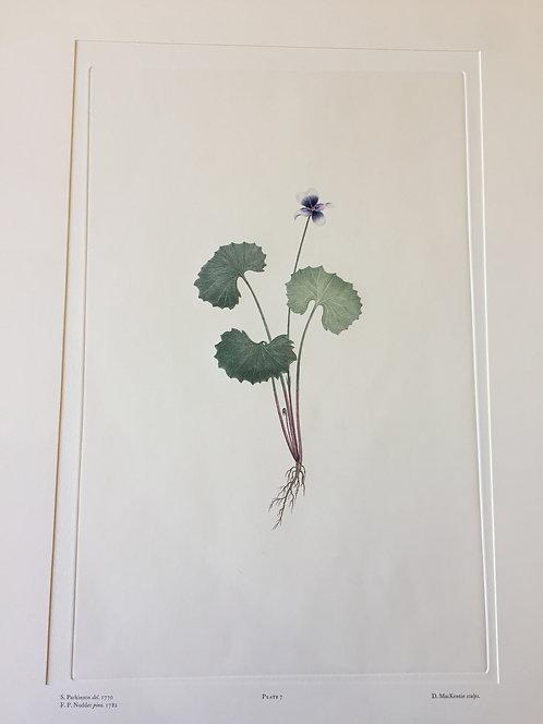 Banks' Florilegium Plate 7