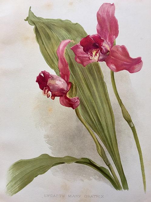 Lycaste Mary Gratrix