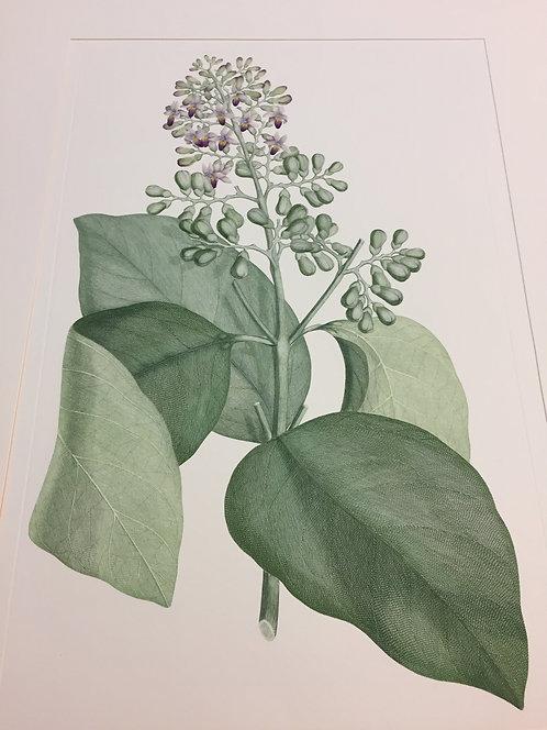 Banks' Florilegium Plate 253