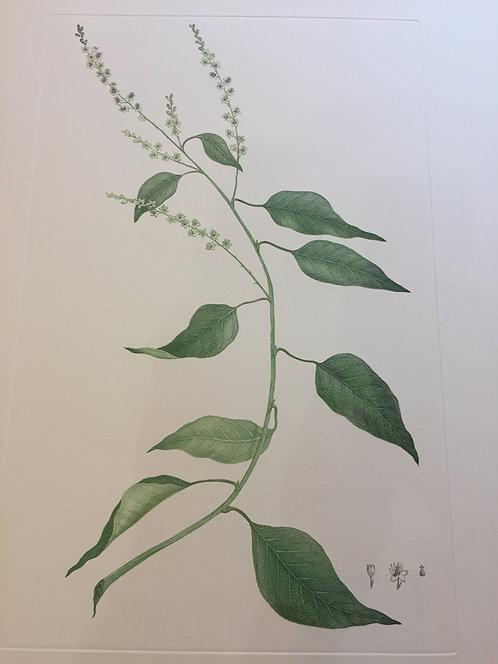 Banks' Florilegium Plate 262
