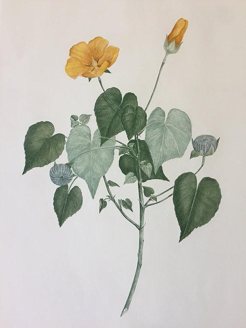 Banks' Florilegium Plate 22