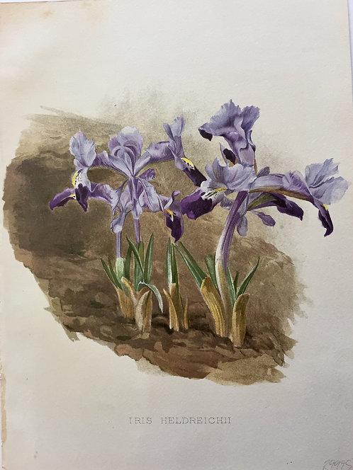 Iris Heldreichii
