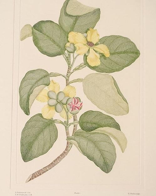 Banks' Florilegium Plate 1
