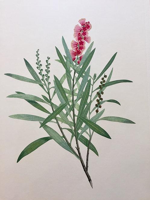Banks' Florilegium Plate 114
