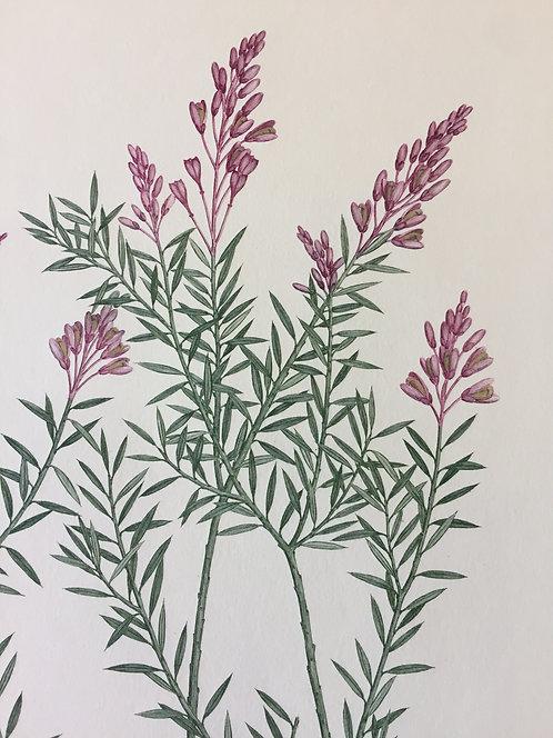Banks' Florilegium Plate 19
