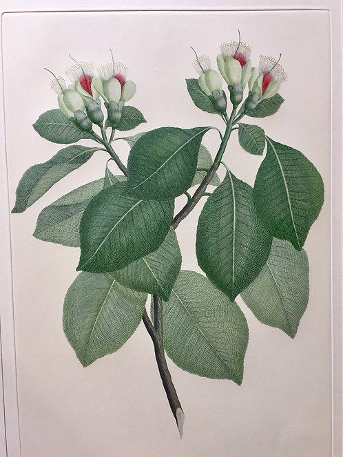 Banks' Florilegium Plate 128