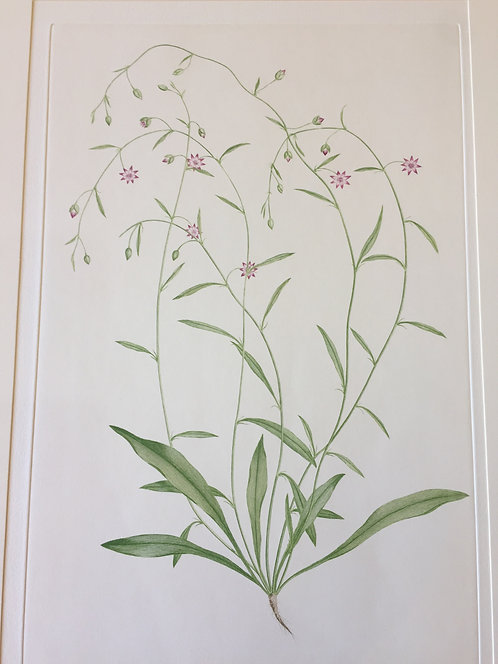 Banks' Florilegium Plate 20