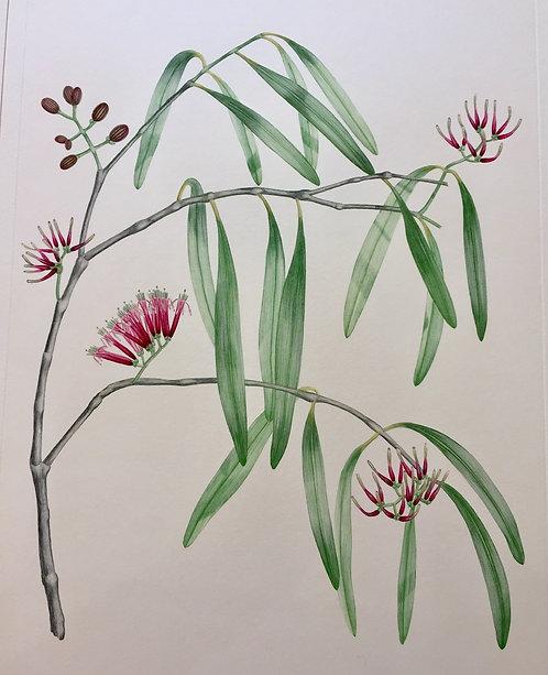 Banks' Florilegium Plate 291